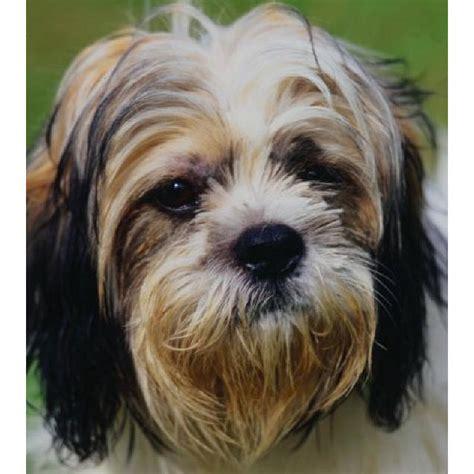shih tzu collars new shih tzu collar size medium for all medium size dogs ebay