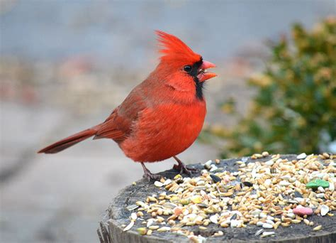 5 quick tips regarding cardinal seeds best bird feeders