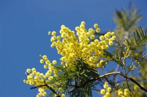 fiore di mimosa arrivano le mimose come piantarle conservarle e