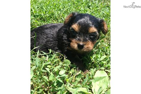 puppies baltimore yorkie terrier puppies for sale in maryland