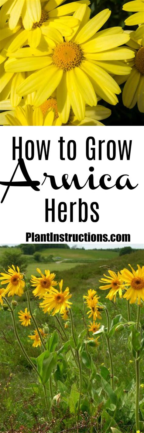 how to grow herbs how to grow arnica herbs plant instructions