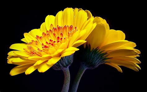 wallpaper flowers images wallpapers gerbera flowers wallpapers