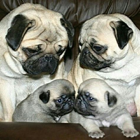 sorry pug 17 best images about pugs on a pug pug and brindle pug