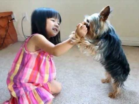 dead yorkie coconut yorkie baby high five puppy play dead tricks