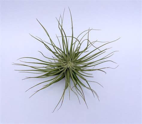 air plants air plant magnuciana