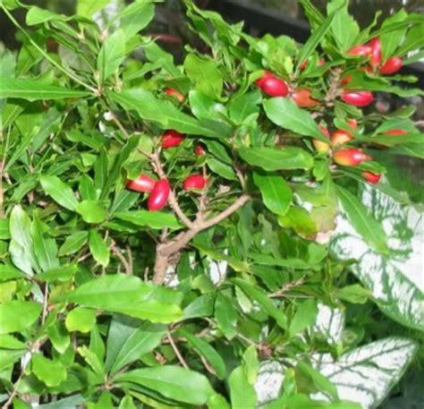 miracle tree fruit polynesian produce stand amazing miracle fruit tree