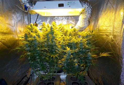 can you grow with a black light top fed dwc cannabis setup guide bubbleponics grow