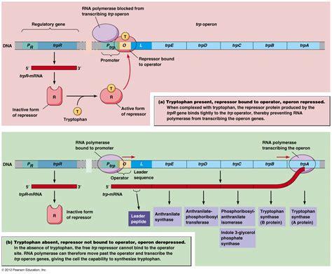 r protein operon translation exles biology