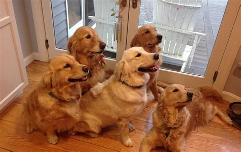 golden acres retrievers country acres golden retrievers home