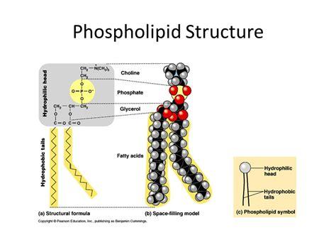 diagram of phospholipid phospholipid structure related keywords phospholipid