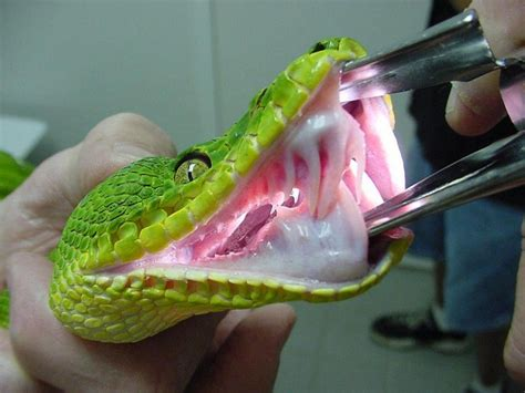 Garden Snake Teeth Emerald Tree Boa Facts And Pictures Reptile Fact