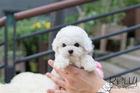 teacup puppies for adoption near me bailey bichon rolly teacup puppies
