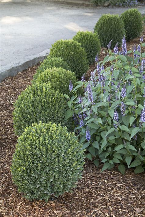 25 best ideas about evergreen 25 best ideas about boxwood on boxwood