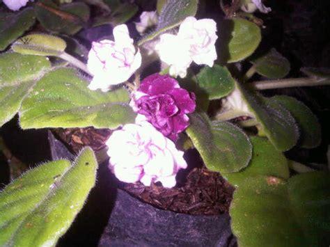 Tanaman Violces Ungu tanaman violces putih sembur bibitbunga