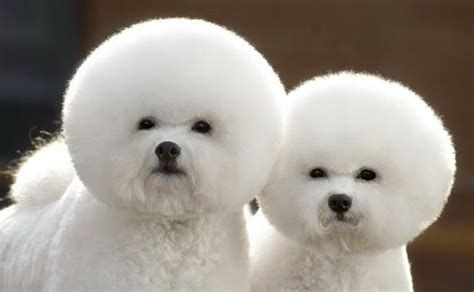 puffball puppy puffball dogs animals and adorable