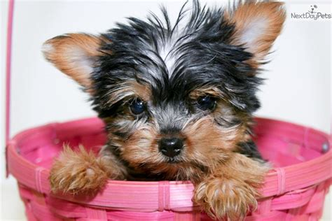 teacup yorkie columbus ohio terrier yorkie puppy for sale near columbus ohio 0897edb2 05b1