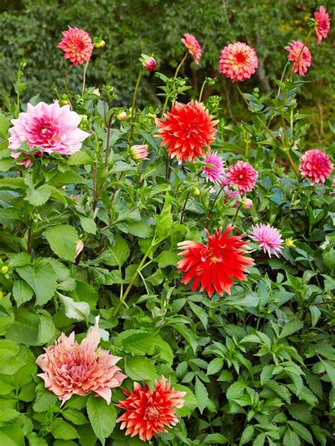 25 best ideas about dahlia flowers on pinterest macro express dahlias and dalia flower
