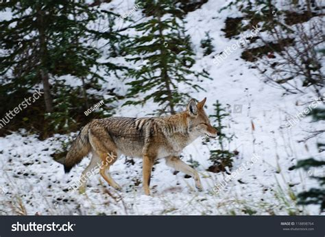 Free Email Search Canada Coyote In A Snow Covered Forest Kananaskis Country Alberta Canada Stock Photo