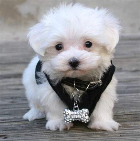 teacup maltese puppies for sale in nc 1000 ideas about maltese puppies for sale on teacup maltese puppies
