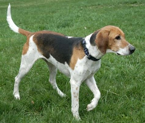 foxhound puppies featured breed american foxhound ez vet pet education and news