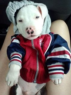 pitbull clothes pitbull on american staffordshire terriers pit bull puppies and blue pits