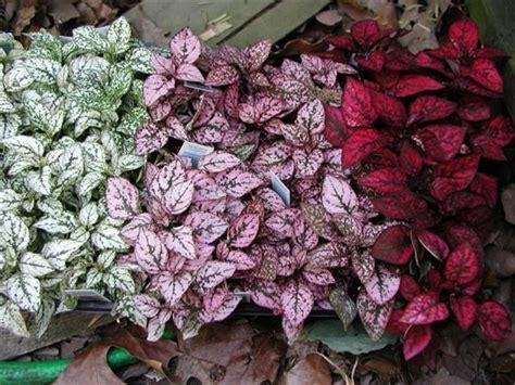 hypoestes phyllostachya polka dot plant polkadot plant