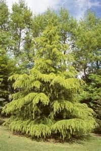 Landscape Lighting Trees - cedrus deodara aurea from neil vanderkruk holdings inc