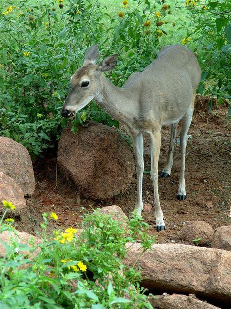 what can i feed deer in my backyard deer in the garden garden housecalls