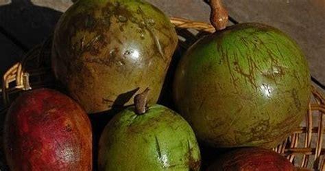 Pohon Sawo Manila Atau Sawo Durian manfaat kenitu atau sawo duren bagi kesehatan tanaman obat manfaat dan khasiat tanaman