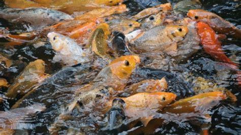 Pakan Ikan Gurame Hias cara budidaya ikan di kolam terpal budidaya ikan hias
