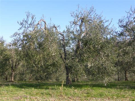 potatura a vaso sistemi di allevamento dell ulivo il vaso policonico