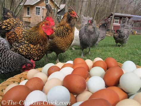 can i have chickens in my backyard decrease in egg production causes solutions the