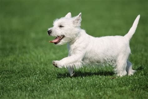 west highland white terrier puppies breeds single looking for a companion dogs