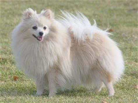german spitz and pomeranian differences differences between pomeranian and german spitz pets world
