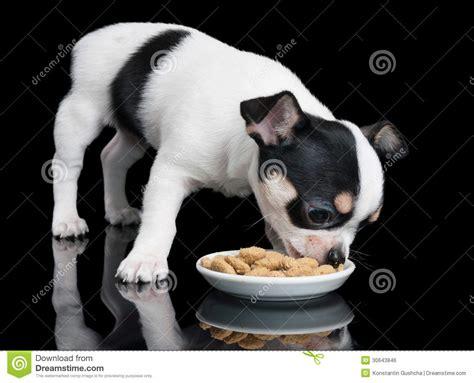 chihuahua dog eating food from a bowl royalty free stock chihuahua eats dog food royalty free stock image image