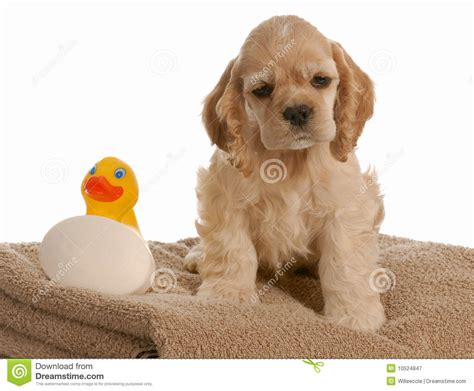 puppy bath time puppy bath time royalty free stock photography image 10524847