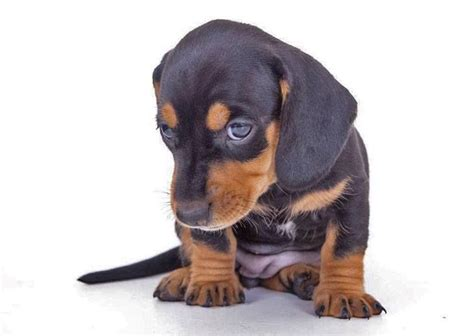 when to give puppies quot will you give me a hug quot click on this dachshund puppy to see more pinworthy