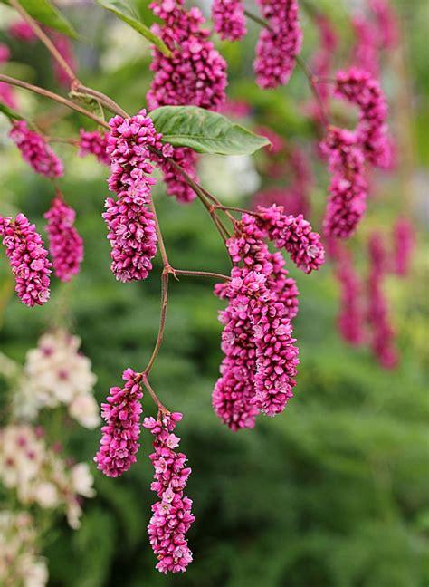 Polygonum Orientale Quot Kiss Me Over The Garden Gate Quot Buy Me The Garden Gate Flower