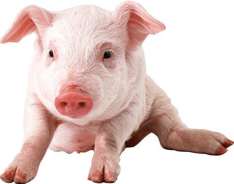 pig background baby pig sitting transparent png stickpng