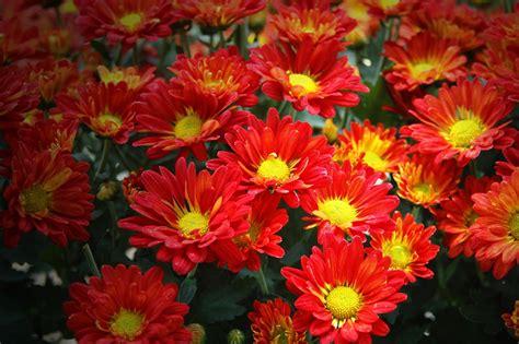 Pupuk Untuk Bunga Seruni bunga krisan seruni