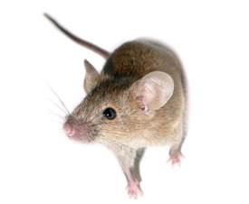 gene therapy successfully extends mouse lifespan up to 24