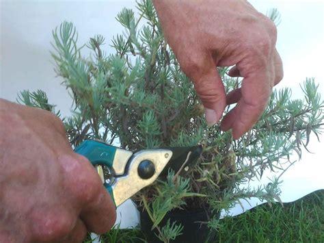 Pupuk Bunga Lebat cara menanam bunga lavender agar tumbuh sehat dan lebat