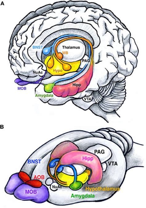 bed nucleus of the stria terminalis frontiers wired for behaviors from development to