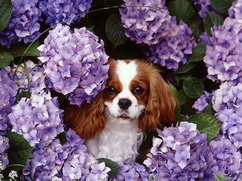 Puppy World: Cavalier King Charles Spaniel Puppy Pictures