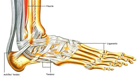 foot diagram of parts picture of human with name new calendar template site