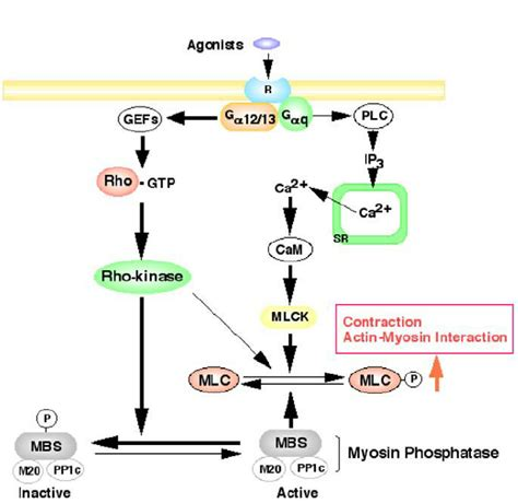 Myosin Light Chain Kinase by Regulation Of Smooth Contraction By Rho Kinase And