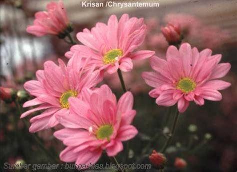Pupuk Npk Bunga Merah jenis jenis bunga krisan serba budidaya