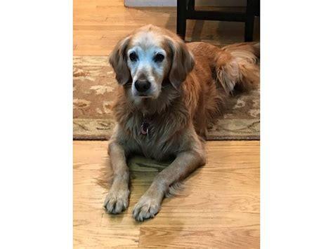 best vacuum for golden retriever hair updated missing pet 12 year golden retriever arlington ma patch