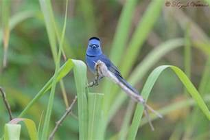What Colour Goes With Grey Black Naped Monarch Chorla Ghat Is A Nature Destination