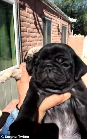 pug eclipse eclipses pug puppy with black pug express digest